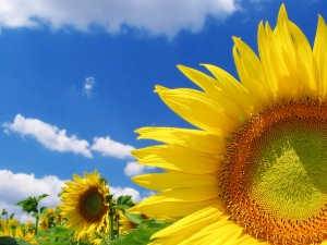 high_quality_sunflower-normal